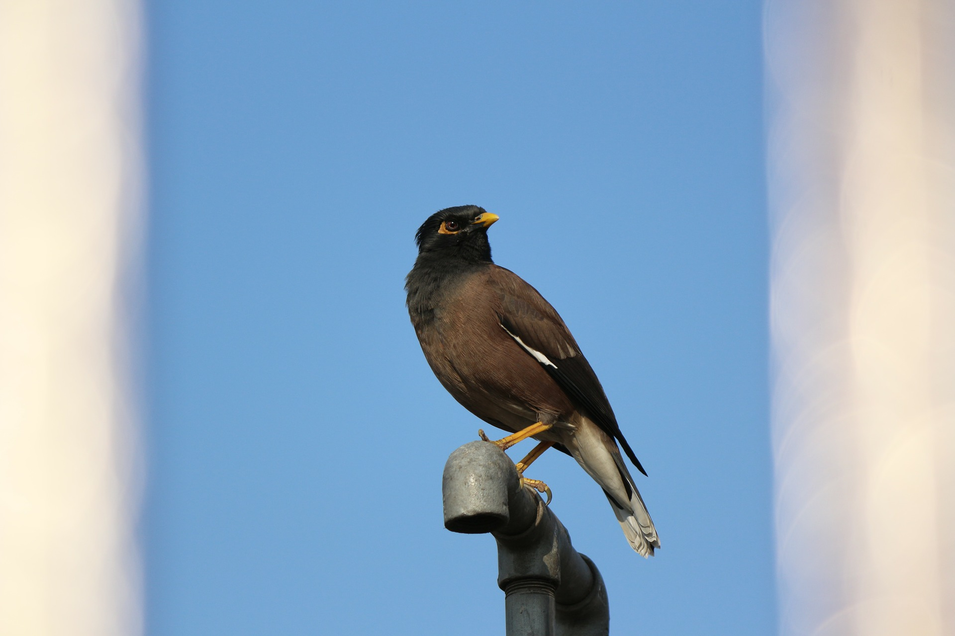 The Song of Mynah Birds | Marilyn R. Gardner - photo#10