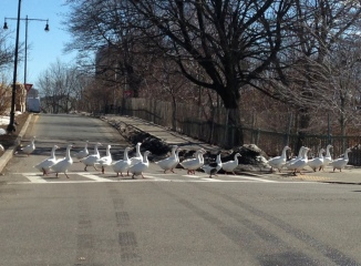 geese gosling 3