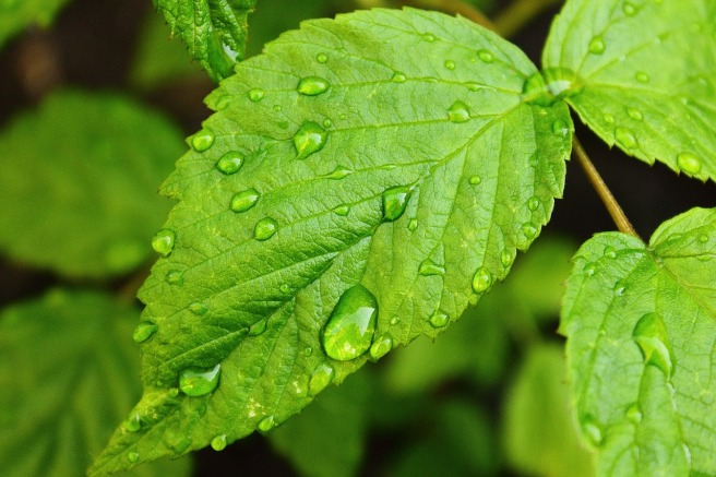 raindrops leaf