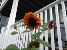 neighborhood sunflowers